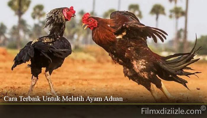 Cara Terbaik Untuk Melatih Ayam Aduan