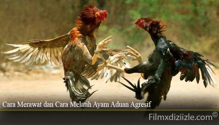 Cara Merawat dan Cara Melatih Ayam Aduan Agresif